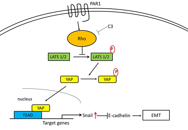 Proposed intracellular transduction mechanisms underlying PAR1-induced inhibition of Hippo-YAP pathway and EMT through Snail.