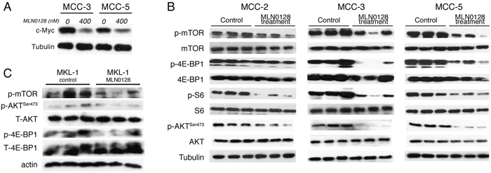 Effect of MLN0128 on c-Myc expression and Akt/mTOR pathway in MCC xenograft tumors.
