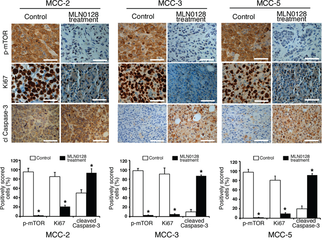 Suppressed cell proliferation and increased cell death in xenograft MCC tumors.