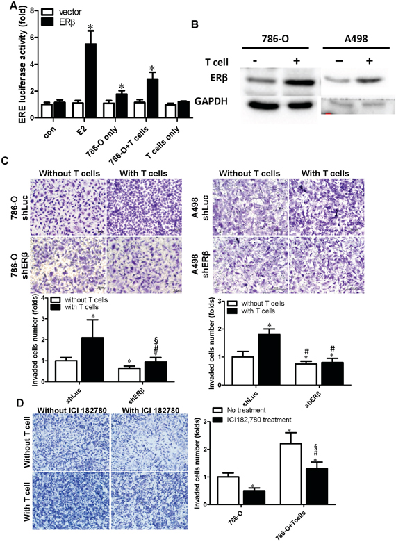 Co-culture of RCC and CD4+ T cells (HH) can activate ERβ transcriptional activity and increase ERβ expression in RCC cells.