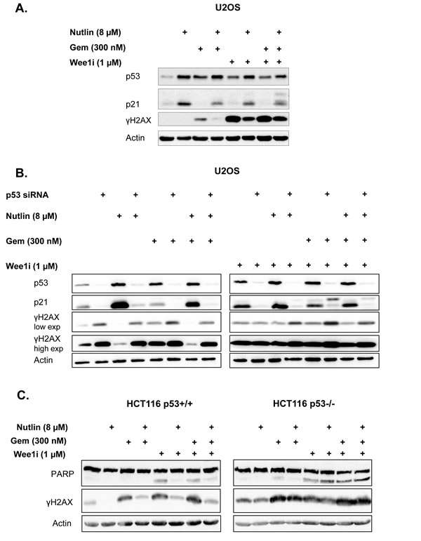 p53 is required for the protective effect of Nutlin.