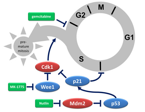 Depiction of protective mechanisms triggered by Mdm2 inhibition.