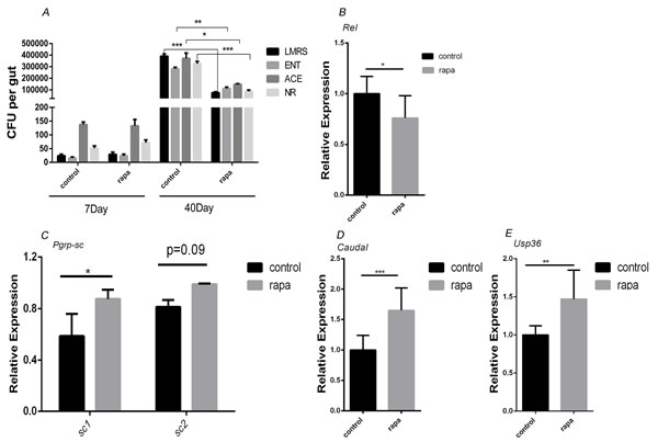 Rapamycin treatment delayed the commensal intestinal dysplasia by up-regulating negative regulators of IMD/Rel pathway.