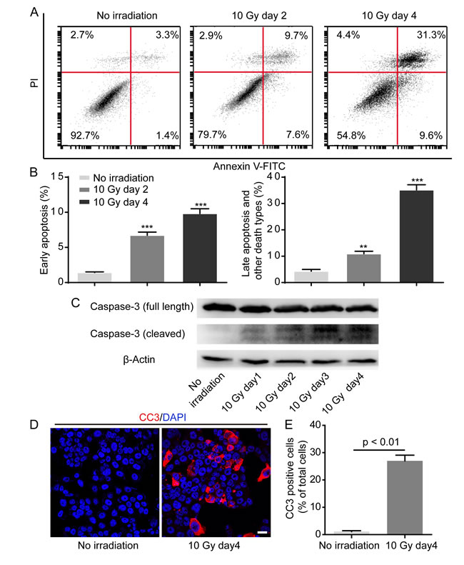 Irradiation induces caspase 3 activation in dying HT-29 cell.