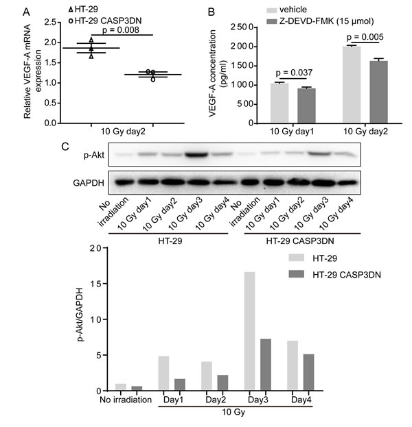 VEGF-A induction and secretion in response to irradiation is inhibited when caspase 3 is proteolytically deactivated.