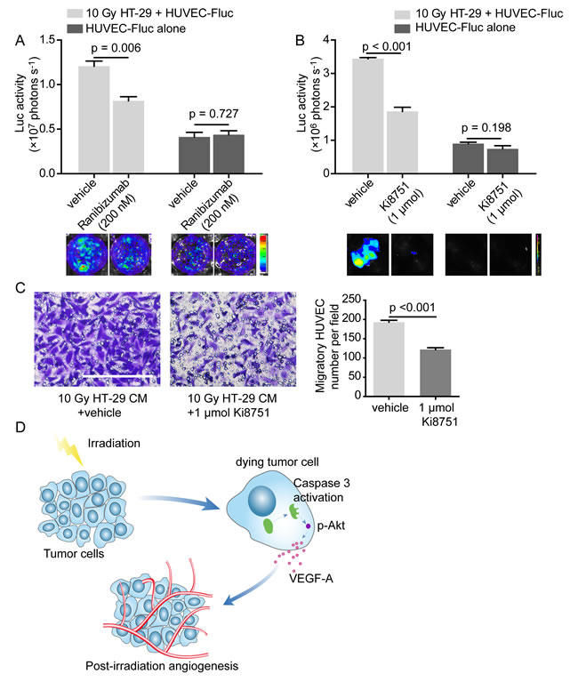 VEGF-A blockade weakens proangiogenic effects of dying HT-29 cells.