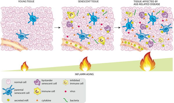 MiRNAs released by cells that activate the DDR/SASP may be involved in signaling to non-senescent cells, thus spreading inflamm-aging