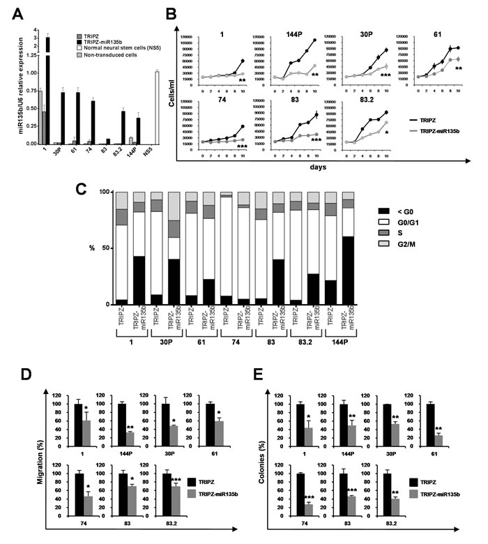 miR-135b overexpression reduces cell growth, migration and clonogenic abilities of GSCs.