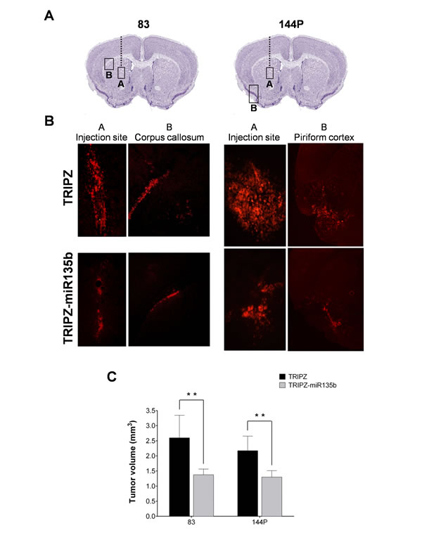 miR-135b overexpression reduces the