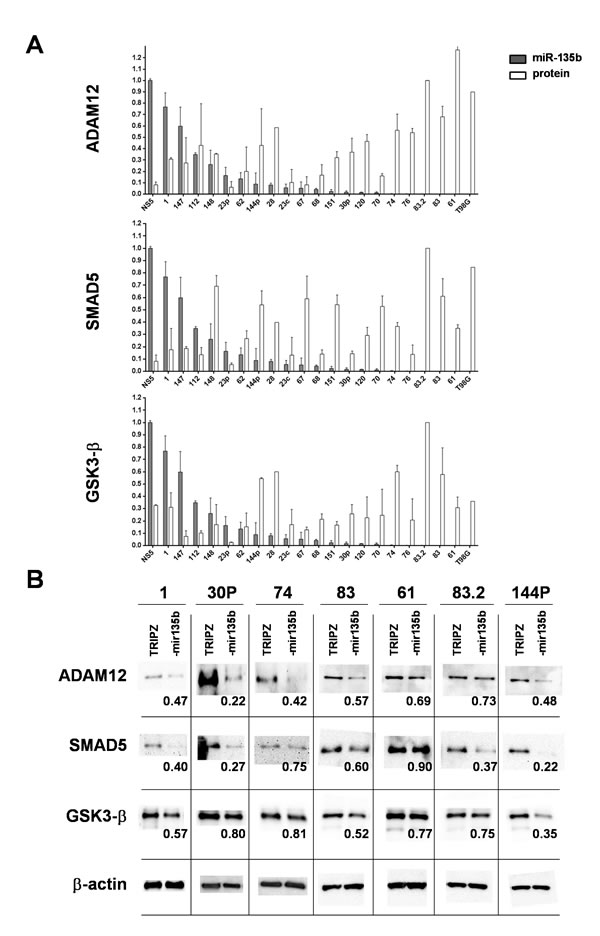 miR-135b overexpression induces a significant decrease in the level of target proteins.
