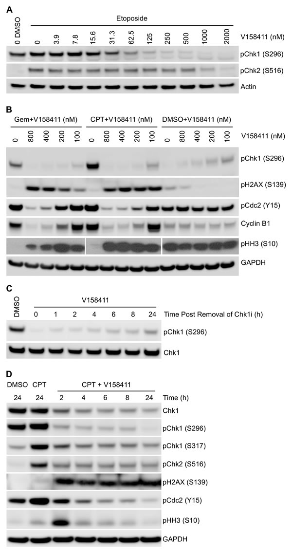 Effect of V158411 on etoposide, gemcitabine and camptothecin induced DNA damage checkpoint and cell cycle proteins.