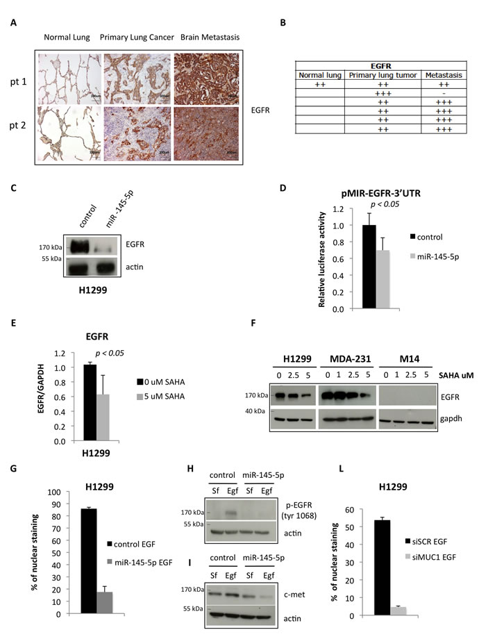 miR-145-5p impairs the expression of EGFR protein.