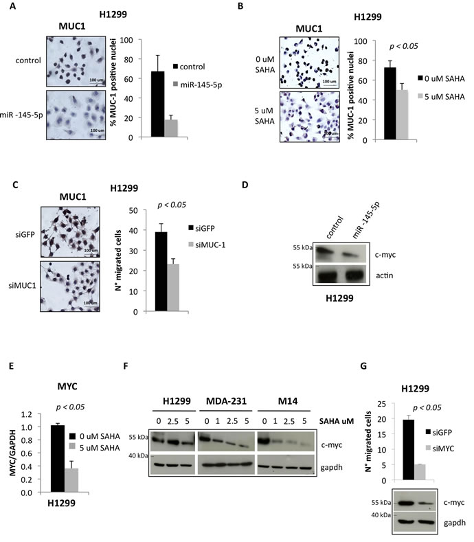 miR-145-5p impairs the expression of MUC-1 and MYC proteins.