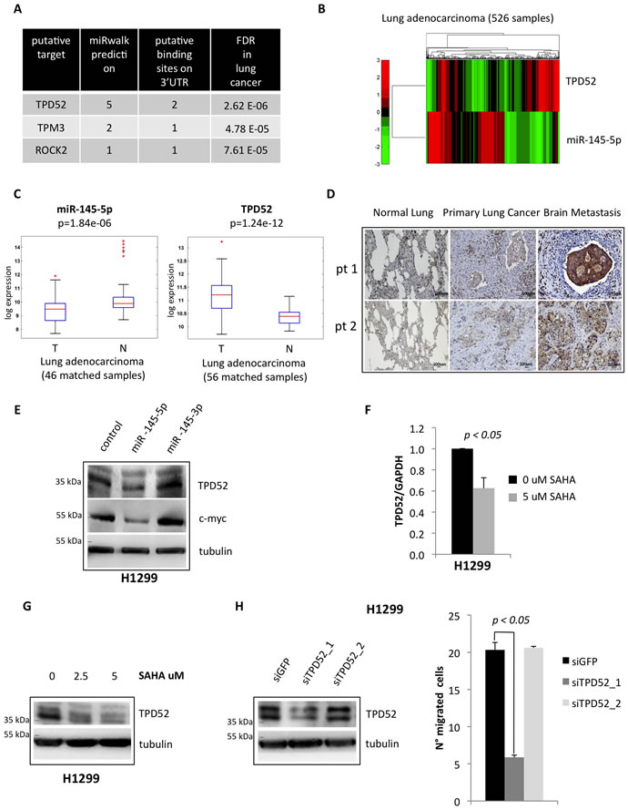 miR-145-5p impairs the expression of TPD52 protein.