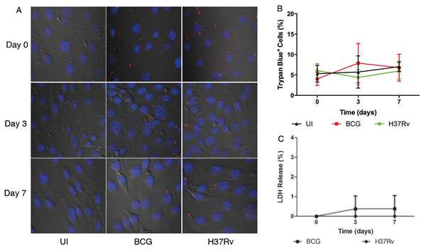 Confocal microscopy and cell viability assays demonstrate absence of cytotoxicity in infected BMECs.