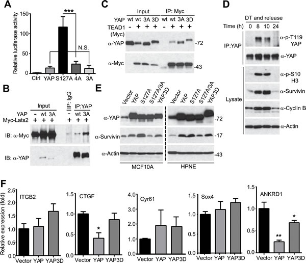 Mitotic phosphorylation is required for YAP's transcriptional activity.