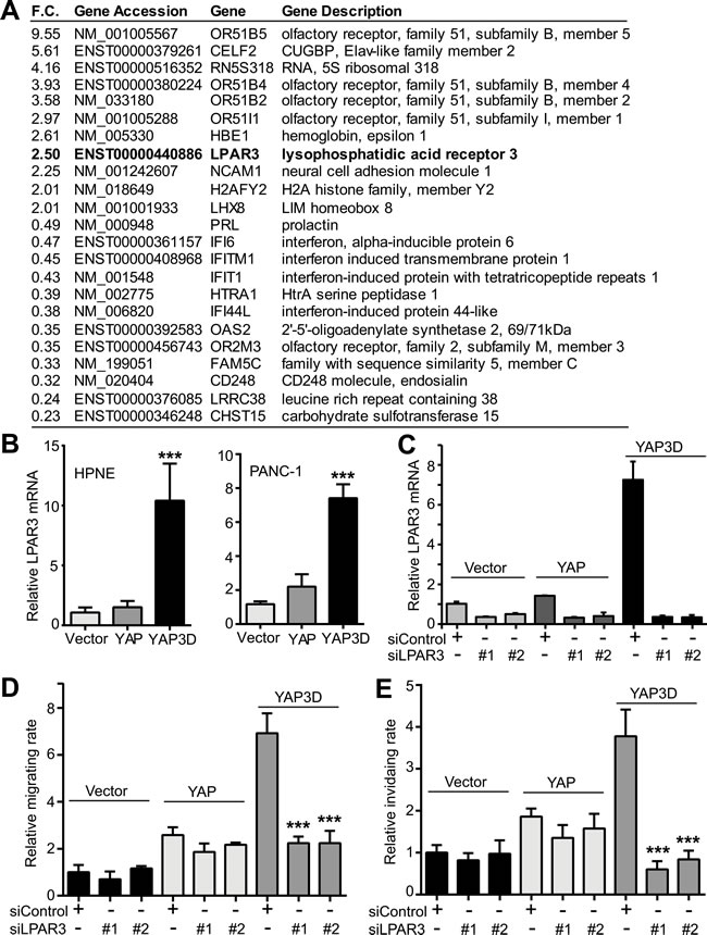 Identification of LPAR3 as a potential target of hyperactive YAP.