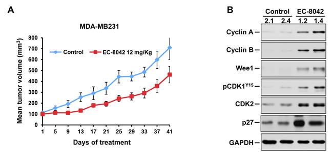 Antitumorigenic effect of EC-8042