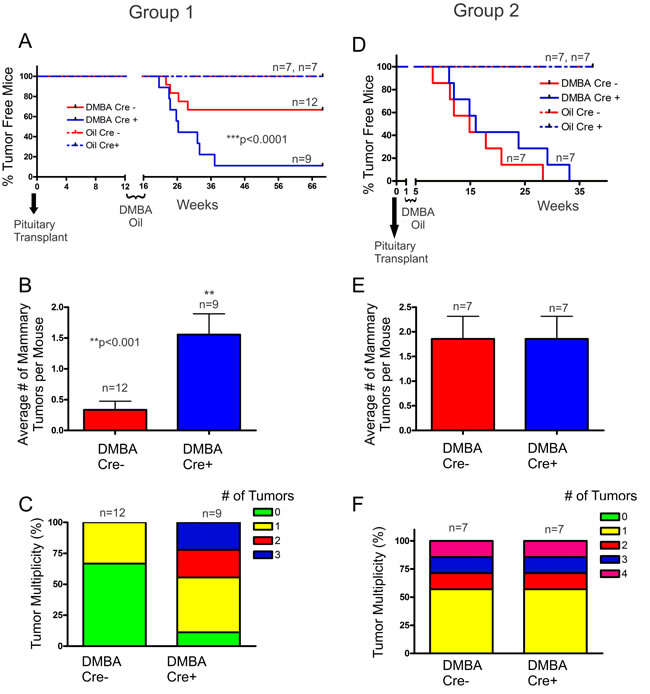 DMBA-treated Cx26 knockout mice developed significantly greater tumor burden.
