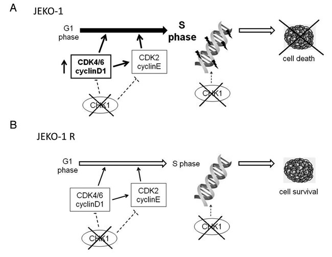 Model of Chk1 role in JEKO-1 parental and resistant cell line.