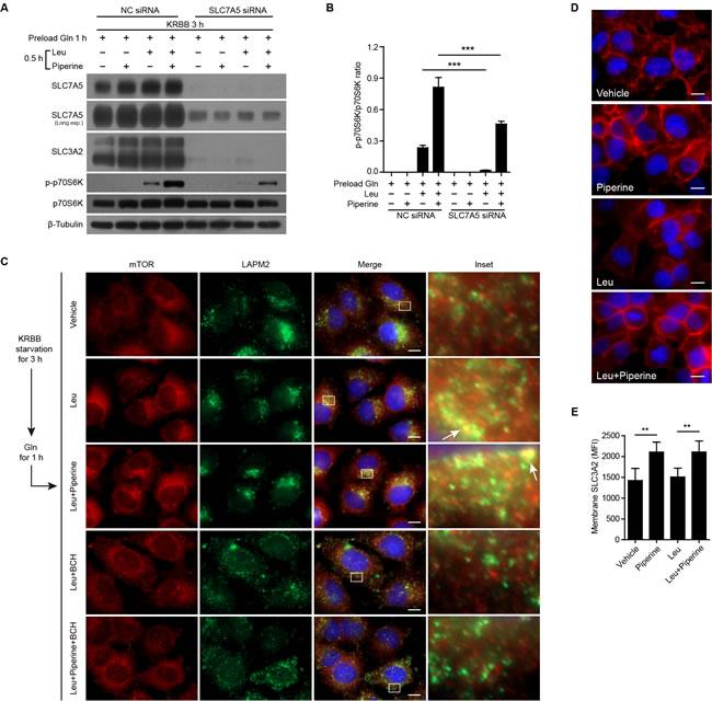 Piperine enhances Leu-induced mTOR activation through amino acid transporter.