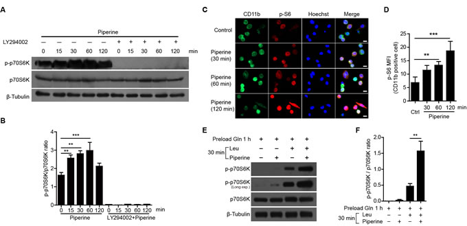 Piperine enhanced mTORC1 activation in mouse peritoneal resident macrophages.