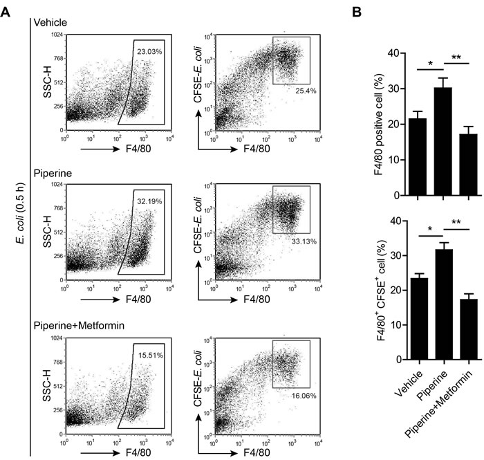 Resident pMΦs from piperine-treated mice exhibits increased capacity to phagocytize bacteria.