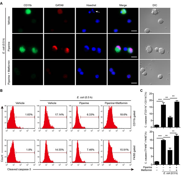 Piperine protects resident peritoneal macrophages from bacterium-induced apoptosis.