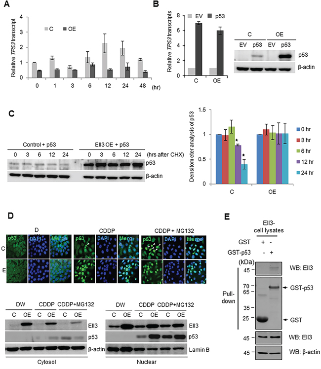 Ell3 enhances p53 protein stability after CDDP treatment.