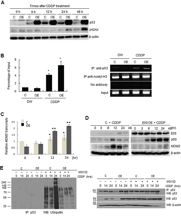 Ubiquitinating enzymes of p53 are suppressed in Ell3-OE cells.
