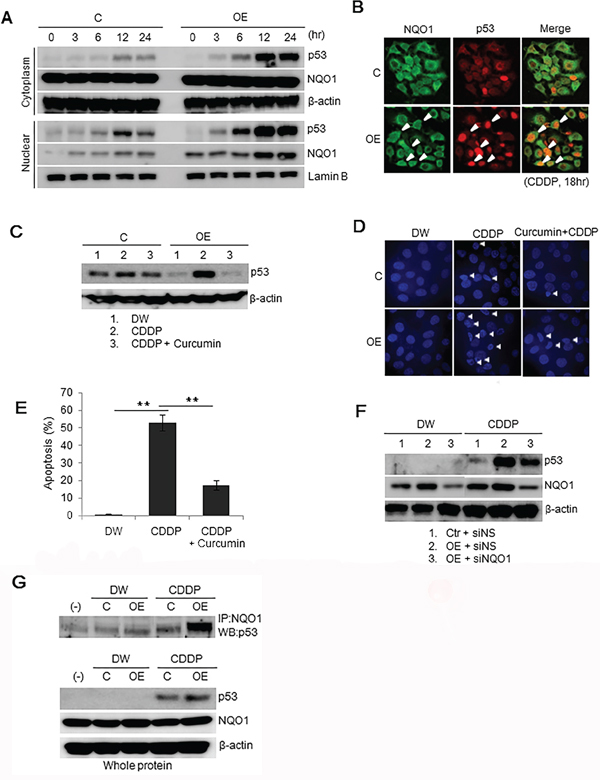 p53 in Ell3-OE treated with CDDP is stabilized via the NQO1-dependent pathway.