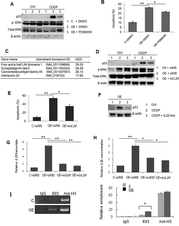 p53 in Ell3-OE is stabilized by ERK signaling activated by IL20 after CDDP treatment.