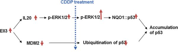 Model for Ell3 activity stabilizing p53 protein following CDDP treatment in breast cancer cells.