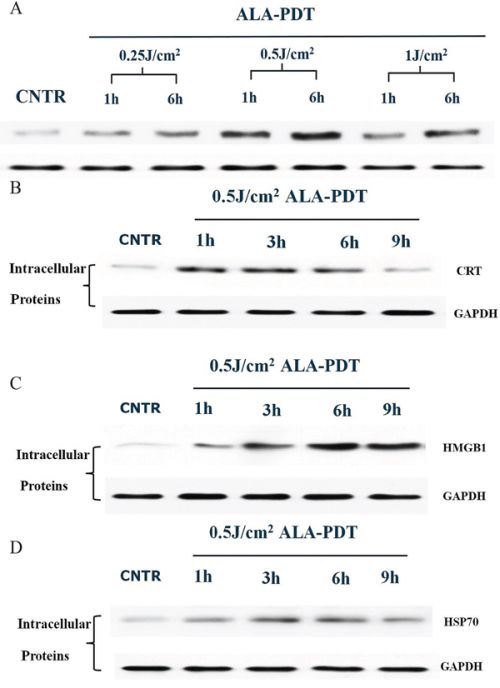 Intracellular expression of DAMPs in PECA cells after ALA-PDT treatment.
