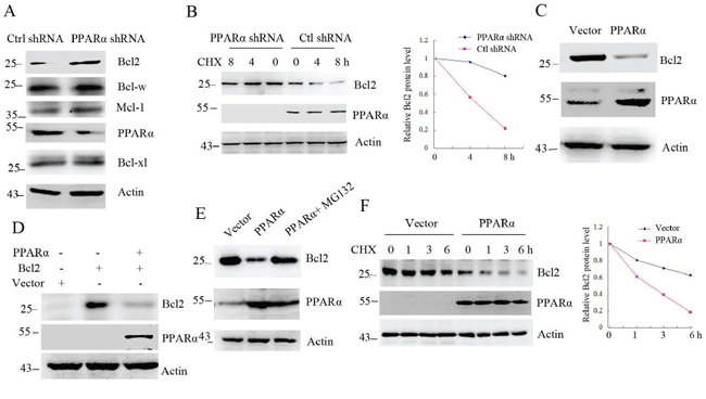 PPARα induces Bcl2 degradation.