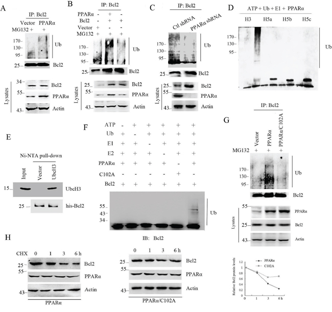 PPARα is an E3 ligase to induce Bcl2 ubiquitination.