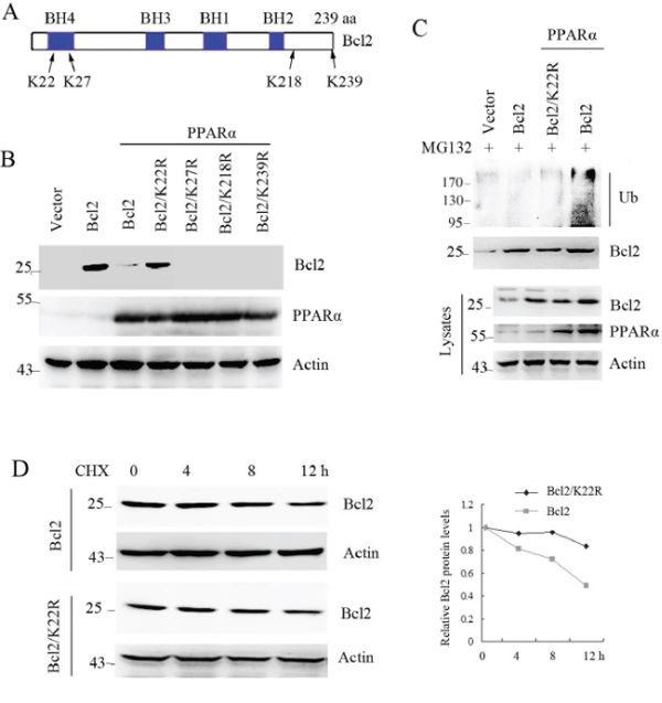 Lysine-22 of Bcl2 is required for PPARα-induced it ubiquitination and degradation.