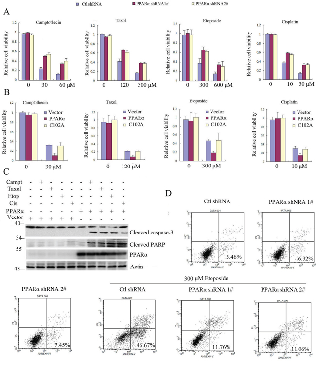 PPARα/Bcl2 signaling promotes cell apoptosis in response to chemotherapy drugs.