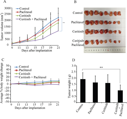 Ceritinib enhanced the anticancer effect of paclitaxel in the KBv200 cell xenograft model in nude mice.