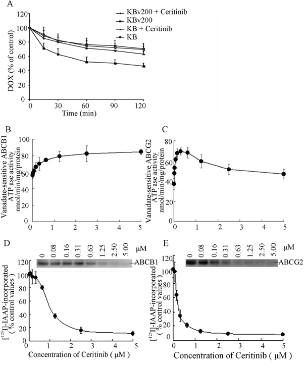 Effect of ceritinib on the efflux of DOX, the ATPase activity of ABCB1 and ABCG2 and the [125I]-IAAP photoaffinity labeling of ABCB1 and ABCG2.