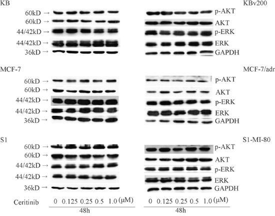 Effect of ceritinib on the phosphorylation of AKT and ERK1/2.