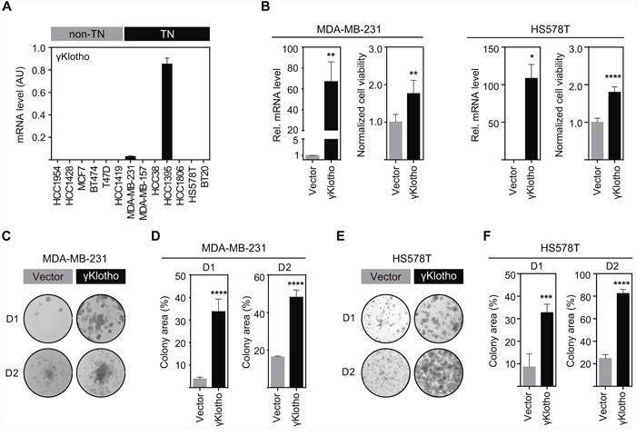 γKlotho is expressed in a subset of triple negative cell lines and its overexpression promotes cell viability and colony formation of triple negative MDA-MB-231 and HS578T cells.