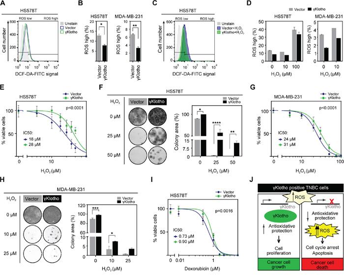 γKlotho protects cancer cells against ROS toxicity.