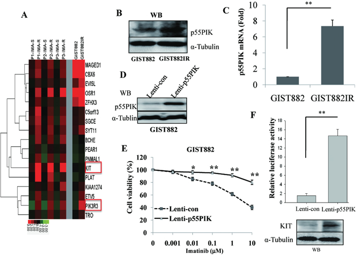 Over-expression of p55PIK in GIST882IR cells and IMA-resistance-GIST samples and increased expression of p55PIK led to the IMA-resistance in GIST882 cells.