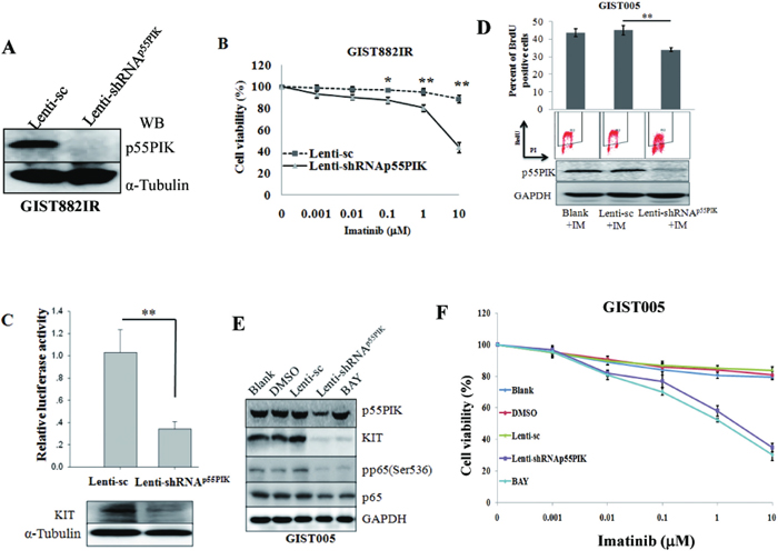 Down-regulation of p55PIK or blocking NF-κB signaling led to decreased KIT and re-sensitized GIST882IR cells to Imatinib.
