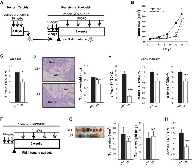 Macrophage ablation in MAFIA mice hindered prostate cancer growth in a bone microenvironment (vossicle model).