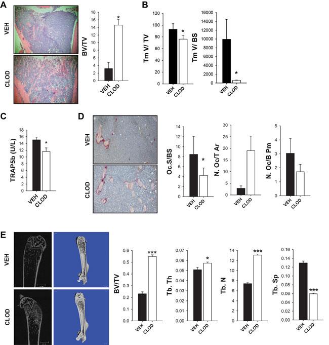 Clodronate liposome treated mice had increased bone volume in an intratibial tumor model