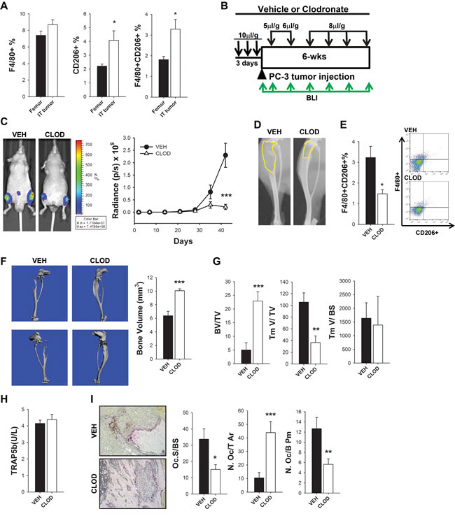 M2 macrophages were increased and contributed to intraosseous tumor growth in human PC-3 intratibial tumors in athymic mice.