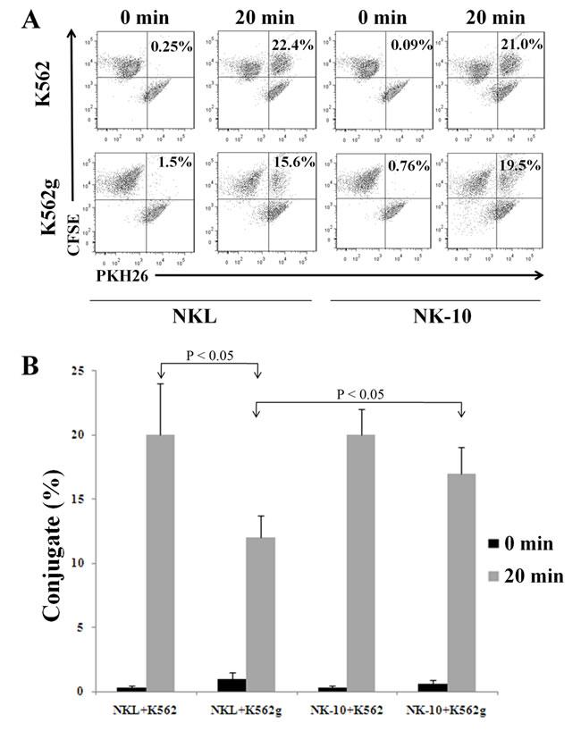 Silencing ILT2 improves conjugate formation in presence of HLA-G.