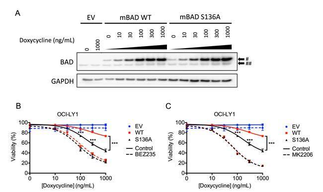 Expression of exogenous murine Bad sensitizes OCI-LY1 cells to AKT inhibition.